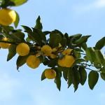 1021.ゆずのき(柚子の木)Citrus junos (2)