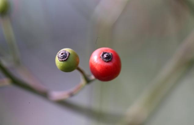 のいばら(野茨)Rosa multiflora (2)