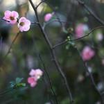 1013.かんぼけ(寒木瓜)Chaenomeles speciosa (8)