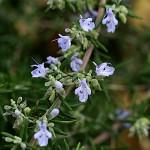 1012.ローズマリーRosmarinus officinalis (1)