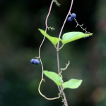 のぶどう(野葡萄)Ampelopsis glandulosa var. heterophylla (12)