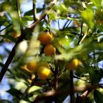 1020.きんかん(金柑)Fortunella japonica (1)