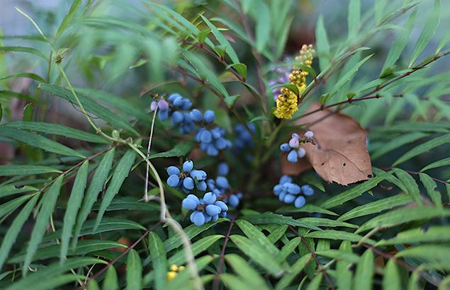 ひいらぎなんてん(柊南天)Berberis japonica