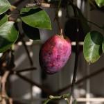 むべ(郁子、野木瓜)Stauntonia hexaphylla (3)