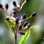 ねずみもち(鼠黐)Ligustrum japonicum