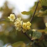 1022.ろうばい(蝋梅)Chimonanthus praecox
