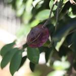 むべ(郁子、野木瓜)Stauntonia hexaphylla (1)
