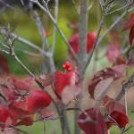 はなみずき (花水木)Cornus florida (4)