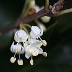 ひいらぎ(柊・疼木・柊木)Osmanthus heterophyllus (3)