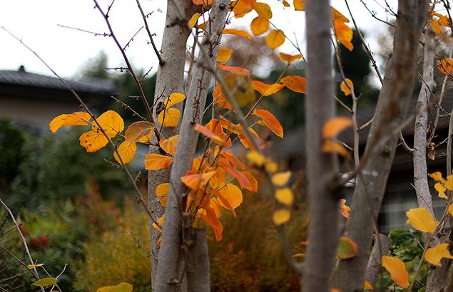 1019.冬のときわまんさく(常磐満作)Loropetalum chinense (1)