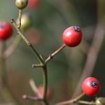 のいばら(野茨)Rosa multiflora (1)