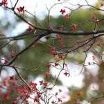 はなみずき (花水木)Cornus florida (1)