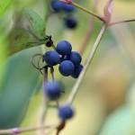 のぶどう(野葡萄)Ampelopsis glandulosa var. heterophylla (8)