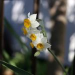 すいせん(水仙)Paper White Narcissus (4)