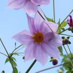 984.こだちダリア木立ダリア)Dahlia imperialis (3)