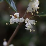 ひいらぎ(柊・疼木・柊木)Osmanthus heterophyllus