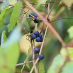 のぶどう(野葡萄)Ampelopsis glandulosa var. heterophylla