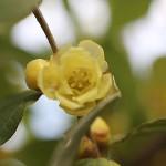 1022.ろうばい(蝋梅)Chimonanthus praecox (2)