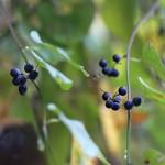 のぶどう(野葡萄)Ampelopsis glandulosa var. heterophylla (10)