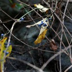 のぶどう(野葡萄)Ampelopsis glandulosa var. heterophylla (6)