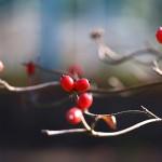 はなみずき (花水木)Cornus florida (2)