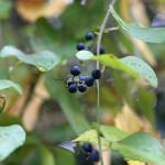 のぶどう(野葡萄)Ampelopsis glandulosa var. heterophylla (1)