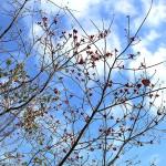 はなみずき (花水木)Cornus florida (3)