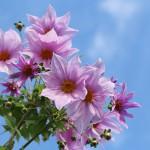 984.こだちダリア木立ダリア)Dahlia imperialis