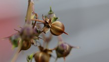 まるばるこうそう (丸葉縷紅草 )Ipomoea coccinea (1)