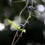 のぶどう(野葡萄)Ampelopsis glandulosa var. heterophylla (11)