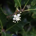 ひいらぎ(柊・疼木・柊木)Osmanthus heterophyllus (2)