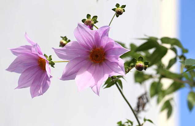 984.こだちダリア木立ダリア)Dahlia imperialis (1)