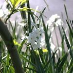 すいせん(水仙)Paper White Narcissus (3)