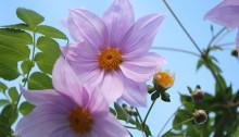 984.こだちダリア木立ダリア)Dahlia imperialis (2)