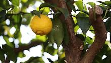 1021.ゆずのき(柚子の木)Citrus junos (1)