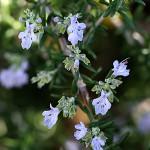 1012.ローズマリーRosmarinus officinalis (3)