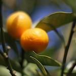 1020.きんかん(金柑)Fortunella japonica (2)