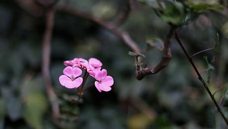 1023.(ゼラニューム Specularia perfoliata
