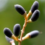 ねずみもち(鼠黐)Ligustrum japonicum (3)