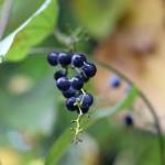 のぶどう(野葡萄)Ampelopsis glandulosa var. heterophylla (2)
