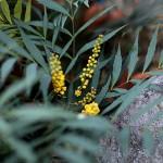 ひいらぎなんてん(柊南天)Berberis japonica (1)