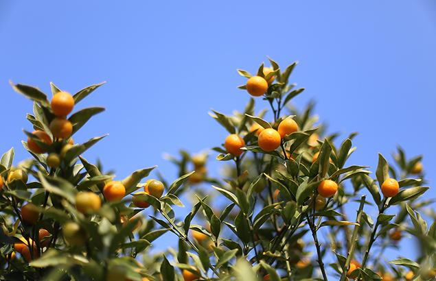 1020.きんかん(金柑)Fortunella japonica (3)